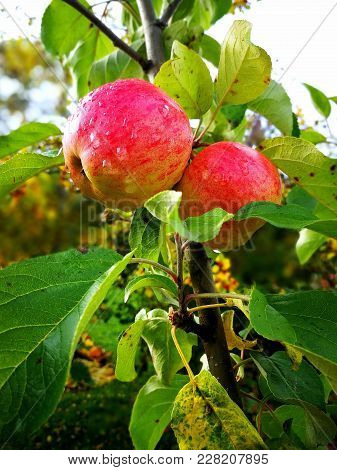 Apples On A Tree With A Water Drops In The Garden