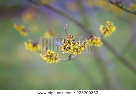 Flowering Witch-hazel (hamamelis). The First Spring Flower.