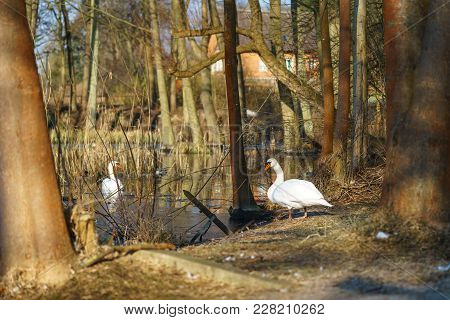 Two Large White Swans (cygnus Olor) On A Pond.