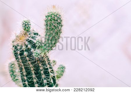 Cactus With Small Shoots On A Light Background