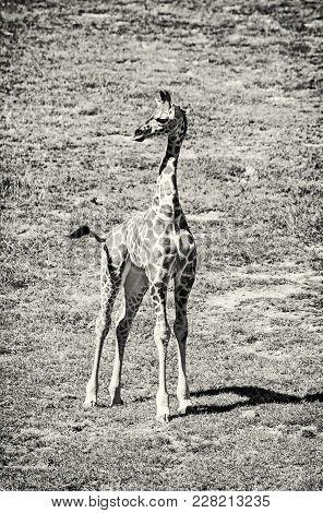 Cub Of Rothschild's Giraffe, Colorless