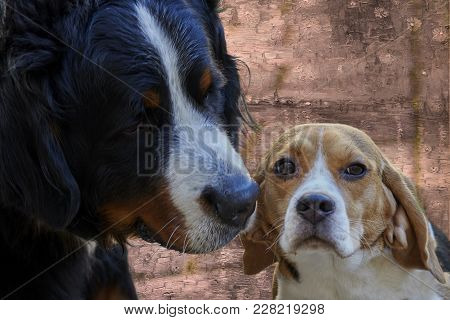 Bernese Mountain Dog And Beagle In The Street