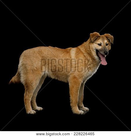 Cute Mongrel Dog Standing And Wait, Isolated On Black Background, Side View