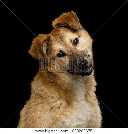 Closeup Portrait Of Cute Mongrel Dog With Turned Head, Curious Looking In Camera, Isolated On Black