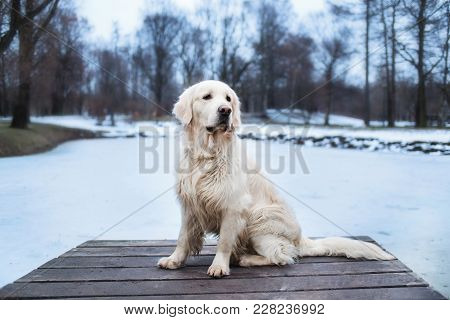 A Beautiful, Cute And Cuddly Golden Retriever Dog Sitting In A Pier In A Park. Cloudy Winter Day