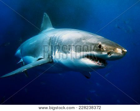 Great White Shark Is Apex Predator And Amazing Underwater Creatures