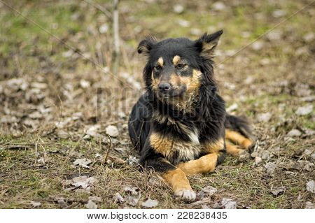 Portrait Of Black Stray Dog With Reddish Spots Lying On The Ground At Early Spring Season