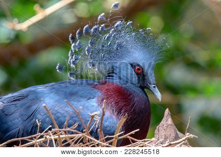 Victorian Crowned-pigeon Sitting In Its Nest With Trees In Background