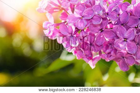 Lilac Flowers, Spring Flower Background With Blooming Lilac Flowers. Selective Focus At The Central