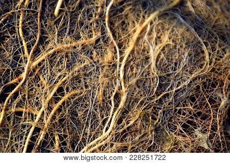 Roots Background And Texture, Fine Root System