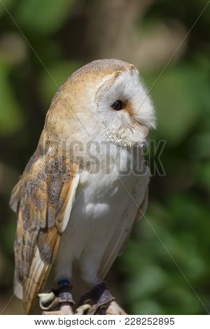 Common Or Western Barn Owl Latin Name Tyto Alba A Nocturnal Bird Of Prey Found Throughout Europe And