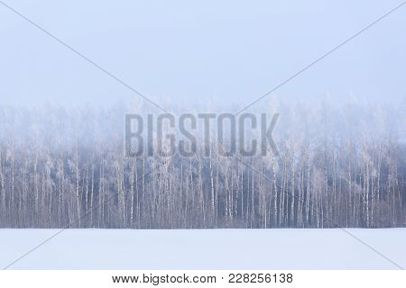 Winter Landscape. Snow Field And Birch Trees In Morning Haze And Hoarfrost Copyspace