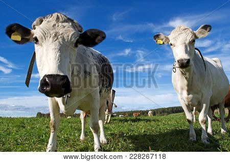 Two Cows In Swedish Field On Blue Sky Background