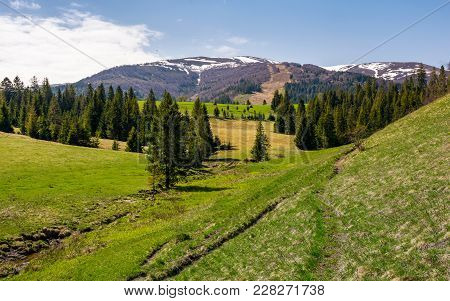 Mountainous Landscape With Coniferous Forest. Lovely Springtime Scenery At The Foot Of Borzhava Moun