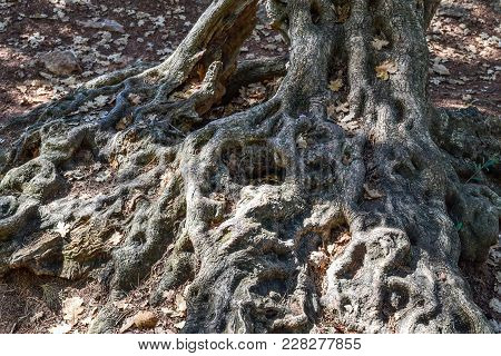 Interlaced Tree Roots. Relief Tree Close-up Adriatica
