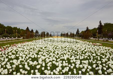 A Lot Of White Tulips