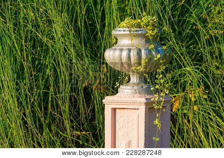 Vase With Scindapsus Closeup On The Background Of Pampas Grass In Arboretum In Sunny Uatumn Day, Soc