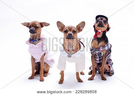 Three Funny Little Dogs In Studio. Cute Russian Toy-terriers And Chihuahua Dressed In Fashion Clothe