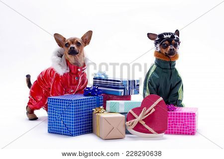 Toy Terrier And Chihuahua With Gift Boxes. Studio Shot Of Russian Toy Chihuahua And Toy-terrier In W