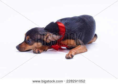 Russian Toy-terrier Lying On White Background. Beautiful Young Miniature Toy-terrier With Red Ribbon