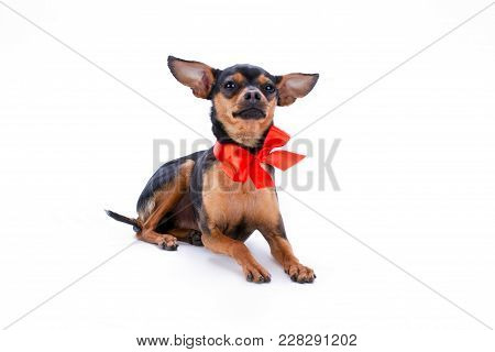 Lovely Sleek-haired Russian Toy-terrier. Tiny Handsome Toy-terrier With Red Bow On Neck Isolated On