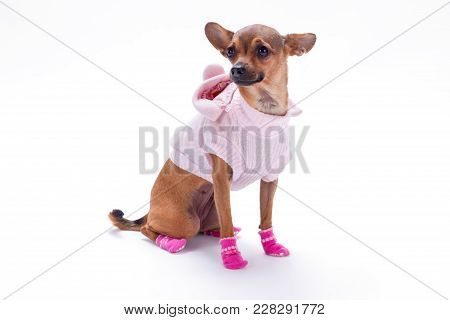 Miniature Brown Dog In Apparel, Studio Shot. Beautiful Russian Chihuahua Toy In Cute Clothes Isolate