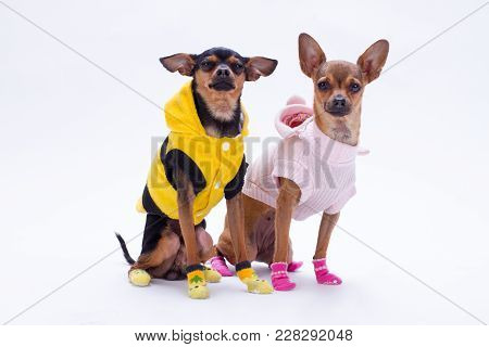 Studio Shot Of Funny Pedigree Mini Dogs. Adorable Toy-terrier And Russian Toy Chihuahua In Modern Cl