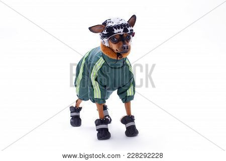 Toy Terrier In Winter Sport Clothes. Cute Dog Terrier In Modern Winter Suit, Hat And Shoes Isolated