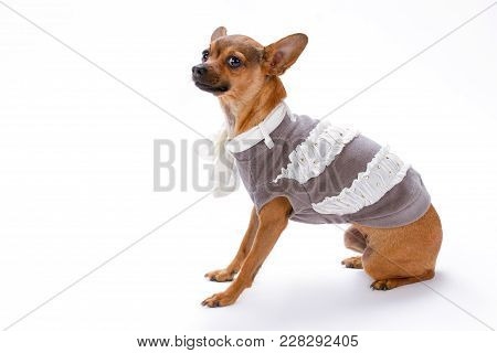Studio Shot Of Cute Dressed Russian Chihuahua. Beautiful Toy Chihuahua In Elegant Clothes Sitting Ov