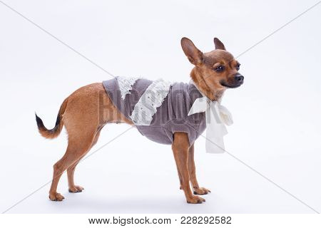 Studio Shot Of Pedigree Toy Chihuahua. Beautiful Dressed Sleek-haired Chihuahua Isolated On White Ba