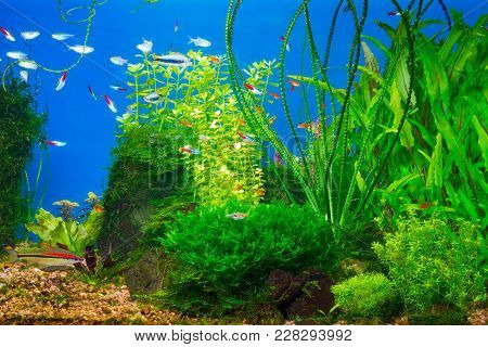 Underwater Life In Planted Tropical Fresh Water Aquarium With Small Fishes