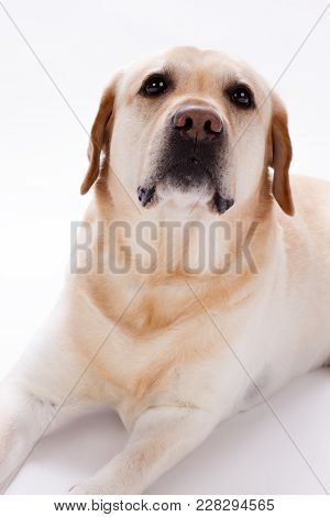Young Labrador Retriever, Several Months Old. Golden Retriever Puppy In Front Of A White Background,
