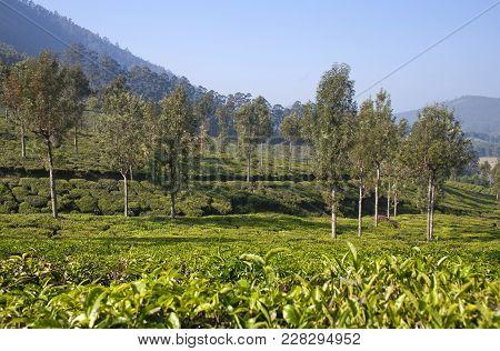 Green Tea Plantations In Munnar, Kerala, South India. Munnar Is Situated At Around 1,600 Meters Abov