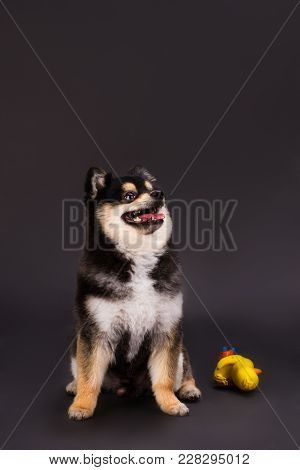 Pomeranian Spitz Posing On Dark Background. Studio Shot Of Beautiful Dark Pomeranian Spitz. Young Fl
