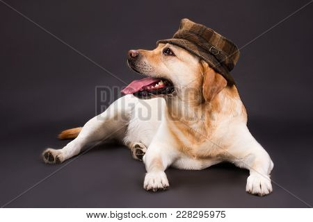 Blonde Labrador Retriever In Brown Hat. Studio Shot Of Beautiful Young Labrador Retriever Lying Over