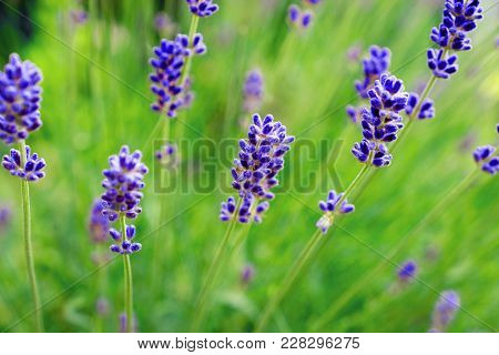 Lavender Flowers. Happy Easter Background. Calmness And Relaxation. Calmness And Relaxation. Perfume