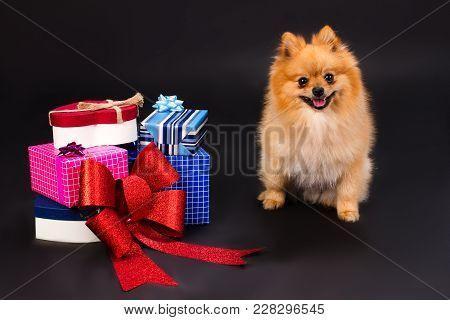 Orange Pomeranian Spitz And Gift Boxes. Beautiful Pomeranian Dog And Boxes With Present, Studio Shot