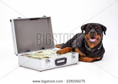 Rottweiler Protecting Suitcase Full Of Dollars. Cute Purebred Rottweiler Dog Lying On White Backgrou