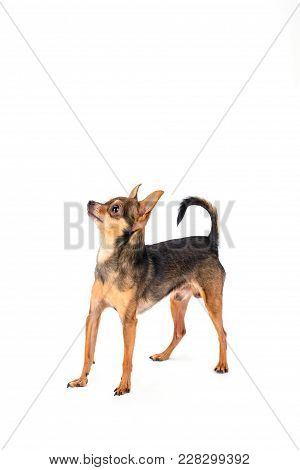 Cute little toy-terrier, white background. Pedigree male toy-terrier puppy isolated on white background, studio shot. Beautiful domesticated friend. poster