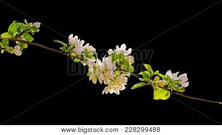 Flowering Branch Of Apple Tree Backlit, Isolated On A Black Background. Selective Focus
