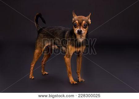 Domesticated Toy-terrier, Studio Shot. Lovely Sleek-haured Terrier Dog Standing On Dark Gradient Bac