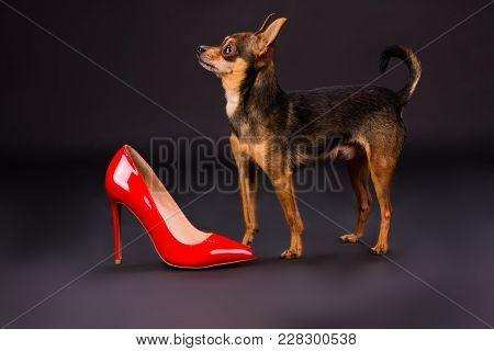 Tiny Pedigreed Dog And Red Stiletto. Sleek-haired Toy-terrier Dog And Female Red Elegant Footwear On