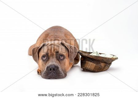 Cute Cane Corso, Studio Portrait. Adorable Young Cane Corso Pedigreed Dog And Hat With Paper Money I
