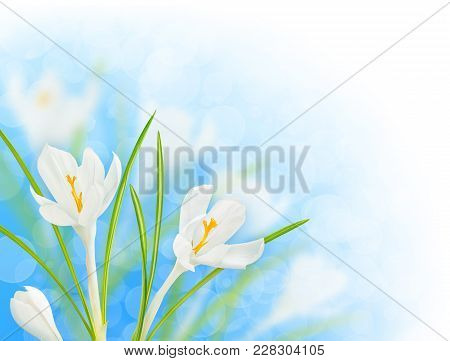 Spring Flowers. Blooming White Crocuses Over Shiny Blue Sky Background With Clipping Path, Corner De