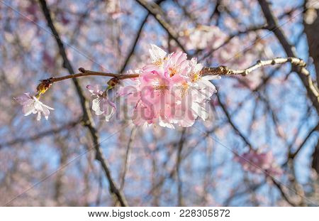 Bright Sunlight On This Cherry Blossom Branch In Holmdel Park In New Jersey.