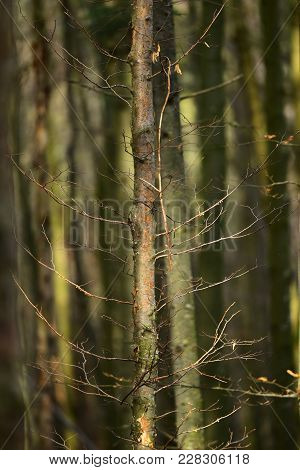 Old Dry Trees In Autumn Forest Under Sunlight. Deciduous Forest, Landscape. Trees Without Leaves In