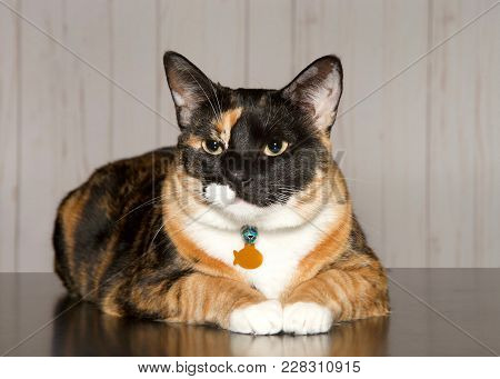 Calico cat laying on a turqoise blanket looking towards viewer. Calico cats are domestic cats with a