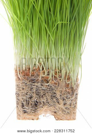 Wheat Grass Root Bound Isolated On White Background. As Plants Grown In Containers Mature, Their Dev