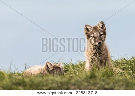 Arctic Fox Cubs, One Lying And One Sitting Looking At Camera, Svalbard Norway