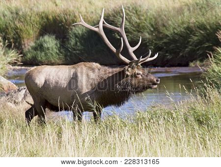 Bull Elk In Rut, Bugling For Cows.  Rocky Mountain National Park, Colorado